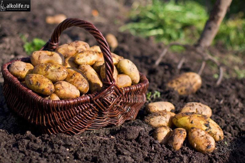 Картофель для приготовления самогона