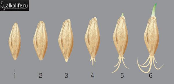 Этапы прорастания зерна на солод