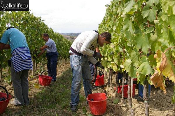 Сбор винограда на плантациях