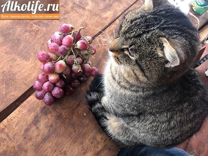 Виноград для настойки и кот