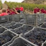 Сортировка винограда после сбора