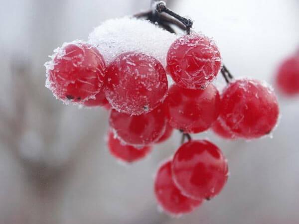 Подмороженные ягоды калины для наливки